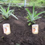 パイナップルを植えました!