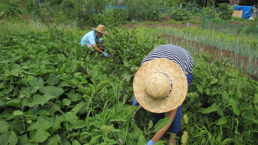 秋野菜の種まき